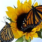 Butterflies & Sunflower by Molly  Kinsey