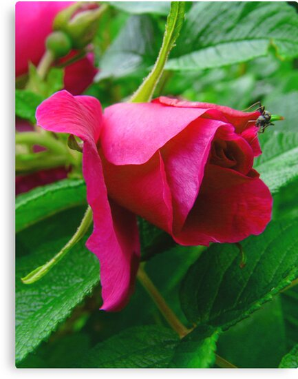 Rose Bud, for all my dear friends by MaeBelle