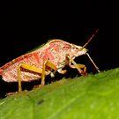 Shield Bug by Marloag