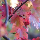 Maple Leaves in Red by Tammy F