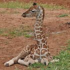 Young Giraffe by Jenny Brice