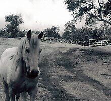 Old Horse by Joci Solano