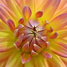 Big Dahlia by Glenda Williams