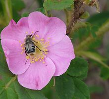 Wild Rose with a Bug by MaeBelle