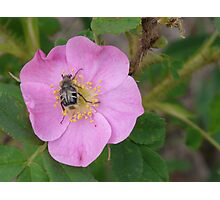 Wild Rose with a Bug Photographic Print