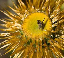 Fly on a Paper Daisy by David de Groot