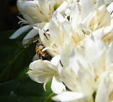 Portfolio: Honeybee worker foraging on Hawaiian Kona coffee bloom #3 , Big Island, Hawaii by jdyphoto