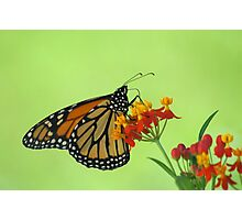 Monarch in Green Photographic Print