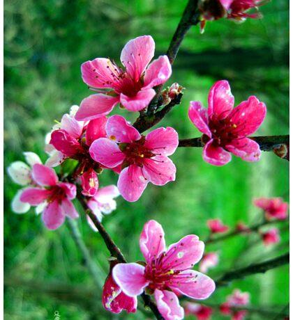 peach blossums Sticker