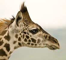 Giraffe Profile by Peter Denness