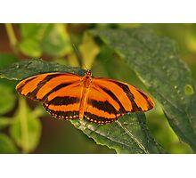 Banded Orange Heliconia Photographic Print