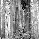 Redwood National Park by Jonathan Eggers