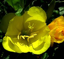 Evening Primrose and Bud by Gabrielle Battersby