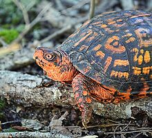 Eastern Box Turtle by Sharon Woerner