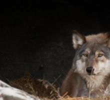 Wolf in Den Sticker
