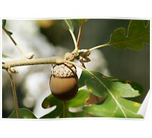 Acorn with Oak Leaves - 0834 Poster
