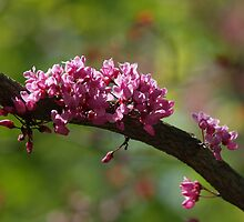 Forest Pansy Redbud Branch, Spring by Anna Lisa Yoder