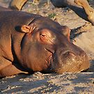 Contented Hippo, Chobe National Park, Botswana by Adrian Paul