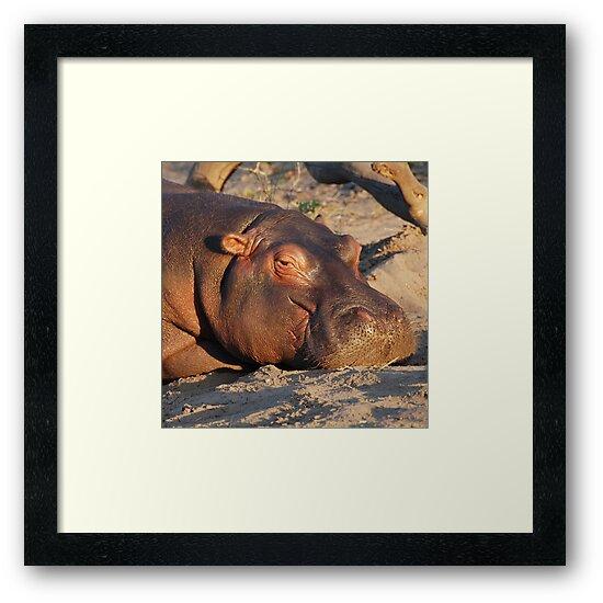 Contented Hippo, Chobe National Park, Botswana by Adrian Paul