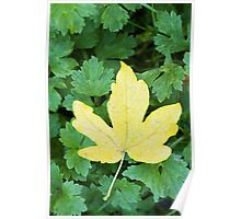 Field Maple Leaf Poster