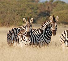 Zebras,  Leroo-La-Tau , Botswana, Africa  by Adrian Paul