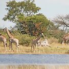 The Giraffe Family, Moremi Game Reserve, Botswana, Africa by Adrian Paul