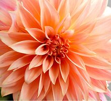 Glorious sun-burst orange chrysanthemum by soniamattson