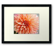 Glorious sun-burst orange chrysanthemum Framed Print