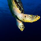 Hawks Bill Sea Turtle by Greg Amptman