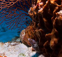 Baby Spotted Moray Eel by Greg Amptman