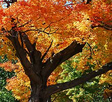 Blazing Maple Tree by Lynda   McDonald