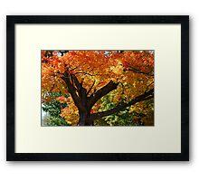 Blazing Maple Tree Framed Print