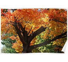 Blazing Maple Tree Poster