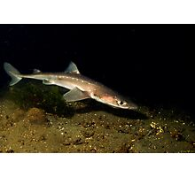 Spiny Dogfish Photographic Print