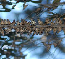 Butterflies In A Row.... by Carol Barona