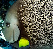 Gray Angelfish by Greg Amptman