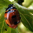 Ladybug, ladybug by Maria Marsico