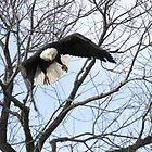 Bald Eagle comin' at ya - 3485 by BartElder