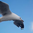 birds #6, silver gull  by stickelsimages