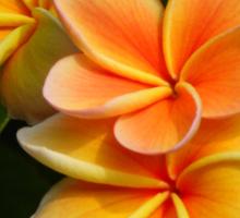 Orange Plumeria #2 Big Island Hawaii Sticker