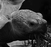 Giant tortoise grazing - photograph by Paul Davenport