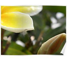 Yellow plumeria #1, Big Island, Hawaii Poster