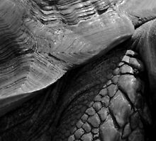 Scales of a giant tortoise - photograph by Paul Davenport