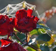 rose by Gerhard Brandhofer