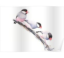 Java Finches Poster