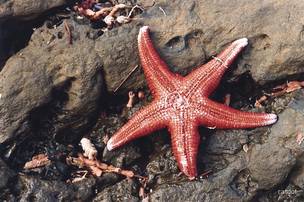 Seastar at Carrickalinga by catdot