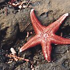 Seastar at Carrickalinga by catdot