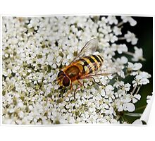 Hoverfly on Queen Anne Lace Poster