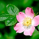 Wild Rose (rosa canina) by M.S. Photography/Art