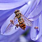 Hoverfly on Agapanthus by AnnDixon